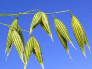 Risultati immagini per wild oat bach